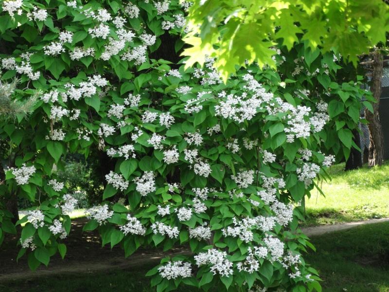 Westmount Park - Flowering Trees (Eudicotylendons)