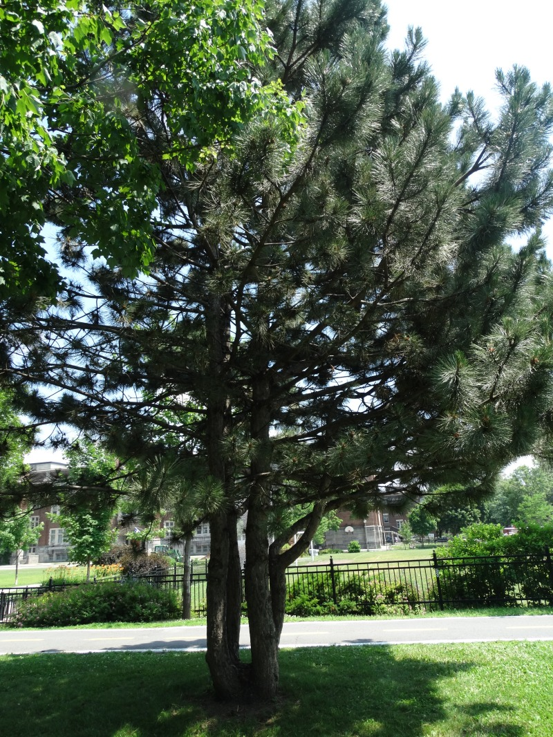 Westmount Park - Seed Trees (Conifers)