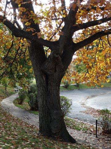 Oak Dec 8