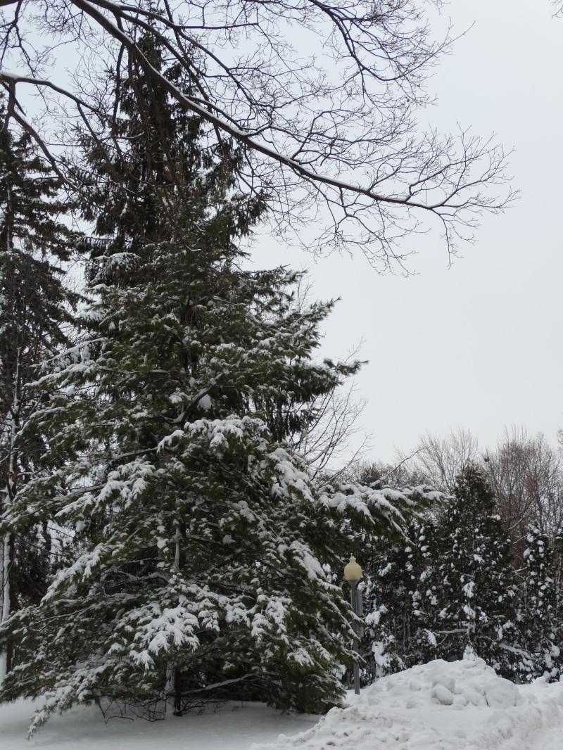 White Pine Picture
