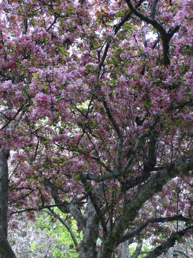 https://michaelld2003.files.wordpress.com/2015/05/crab-apple-westmount-park.jpg?w=651&h=869